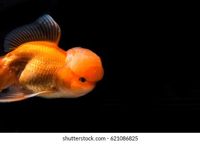 Ornamental goldfish.