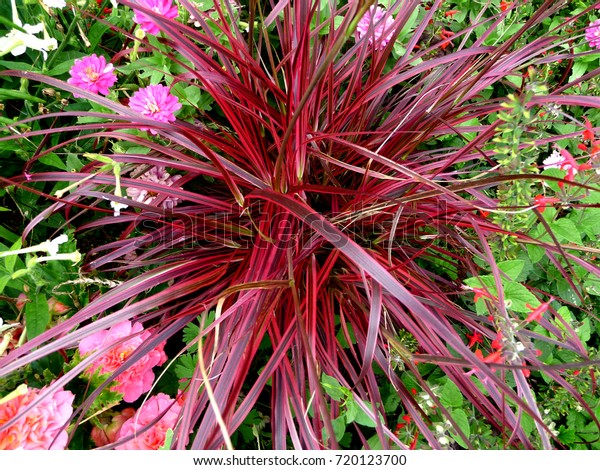 Ornamental Grass Decorative Foliage Purple Red Stock Photo Edit