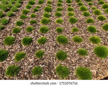 Ornamental grass (festuca glauca) with wood chips forming a pattern in the garden
