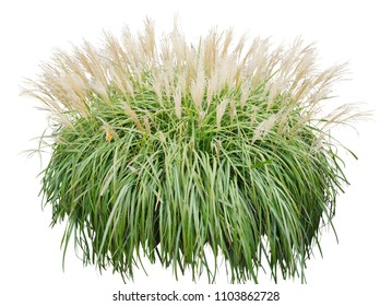 Ornamental grass isolated on white background