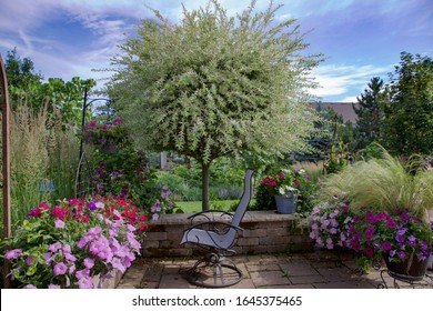 Ornamental Japanese variegated willow, hakuro nishiki, is the focal point of this Midwest garden surrounded by purple petunias in clay containers