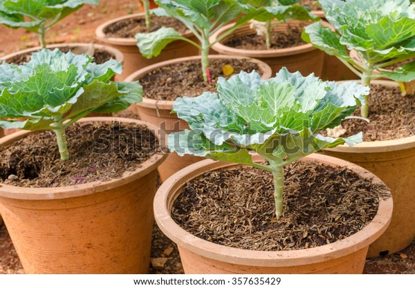 ornamental leaved Kale. Ornamental leaved Kale. Brussels sprouts are used to decorate the garden beautiful. Brassica oleracea (Ornamental Cabbage and Kale Group)