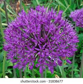 Ornamental Onion (Allium Giganteum) - Alliaceae