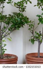 Ornamental orange trees in terracotta pots