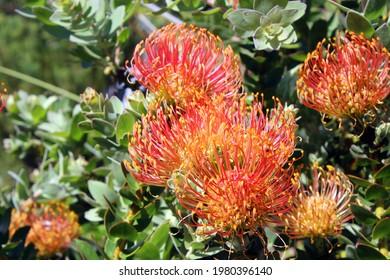 Ornamental Pincushion Protea (Leucospemum Cordifolium) flowering at Kirstenbosch National Botanical Garden in Cape Town, Western Cape province of South Africa