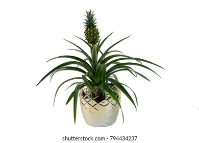 Ornamental Pineapple Plant on a white background. Latin name Ananas comosus Champaca