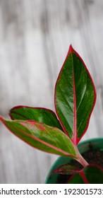 Ornamental plant Aglaonema Siam Aurora ( aglaonema lipstick )