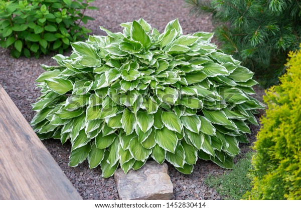 Ornamental Plant Gardenhosta Variegated Green Bushdecorative Stock