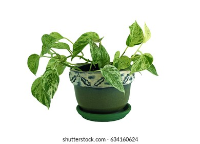 Ornamental plant heart leaf Philodendron (Philodendron scandens) in a flowerpot, isolated on white background