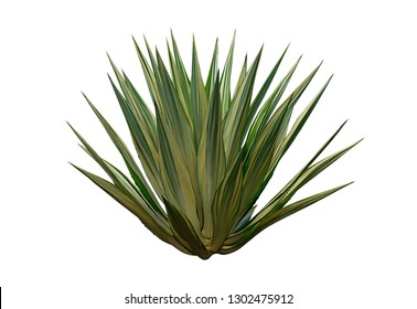 Ornamental  plant isolated on white background. clipping path. Agave plant tropical.