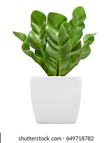 Ornamental plant on pot isolated on white