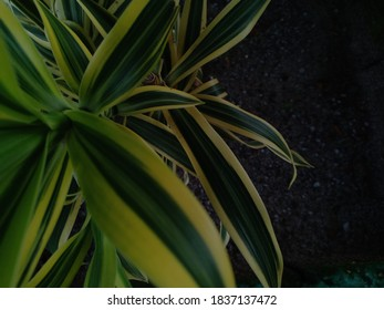 ornamental plants Dracaena reflexa suitable for planting in the yard