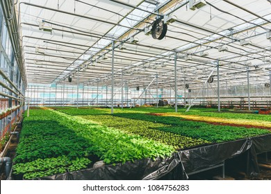 Ornamental plants and flowers grow for gardening in modern hydroponic greenhouse nursery or glasshouse, industrial horticulture, cultivation of seedlings technology