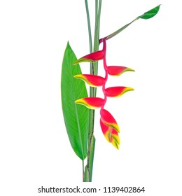 Ornamental plants : Heliconia rostrata, also known as hanging lobster claw or false bird of paradise. Heliconia rostrata is the national flower of Bolivia. Isolated on white background.