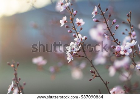 Ornamental Plum Tree Spring Flower Buds Stock Photo Edit Now