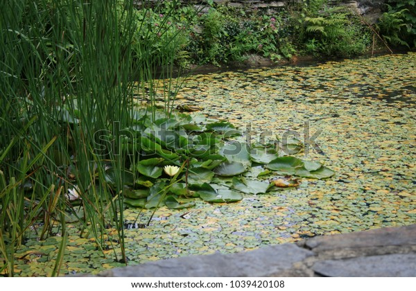 Ornamental Ponds lilies and weed