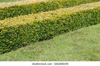 Ornamental square cut box hedge