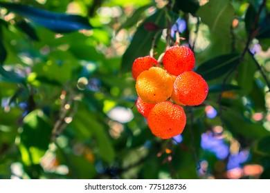 Ornamental Strawberry tree (Arbutus unedo) fruits, San Francisco bay area, California