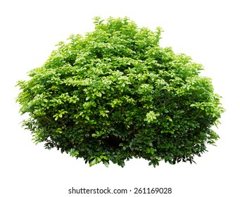 Ornamental tree isolated on white background.