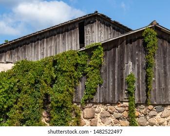 Ornamental Virginia creeper, Victoria creeper (Parthenocissus quinquefolia) on the wall of a farm building