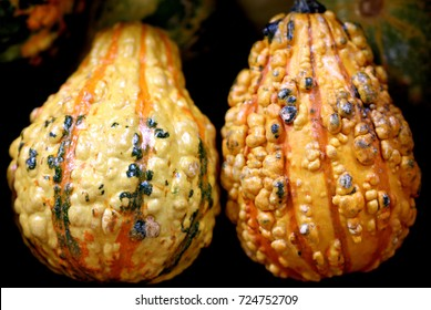 Ornamental Warty Pear Gourd, Cucurbita pepo, small size ornamental pear shaped gourds yellow with orange yellow stripes, isolated warts, ideal for Halloween decorations.