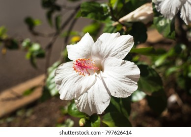 ornamental white hibiscus flower with pink stamen on the road side in Oahu, native plant of Hawaii