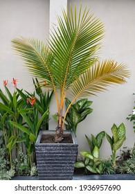 ornamental yellow palm(Dypsis lutescens) plants isolated in pots. heliconia psittacorum, Aglaonema, caladium humboldtii mini, Nyctanthes arbor-tristis