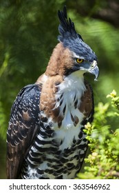 Ornate Eagle Hawk perched with feathers in beak.