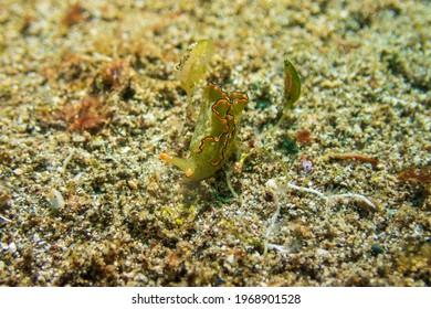 Ornate Elysia (elysia ornata), or ornate leaf slug, is a sapsucking sea slug, a marine gastropod mollusk on a sandy bottom near Anilao, Mabini, Philippines.  Underwater photography and travel.