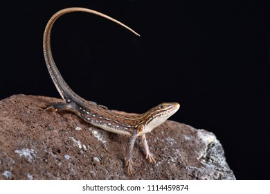 The Ornate Sandveld Lizard (Nucras ornata) is a medium sized, diurnal, lizard species found in Southern Africa.