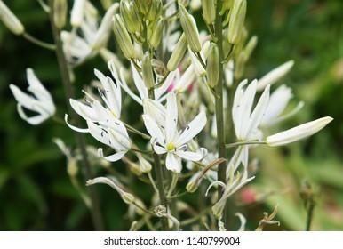 Ornithogallum caudatum or false onion white flowers close up