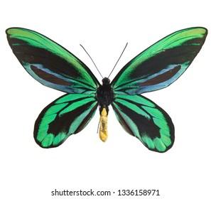 Ornithoptera alexandrae isolated on white