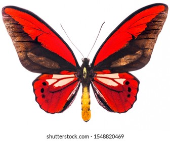 Ornithoptera is an endangered red butterfly living in Indonesia. Isolated on white