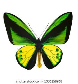 Ornithoptera goliath isolated on white
