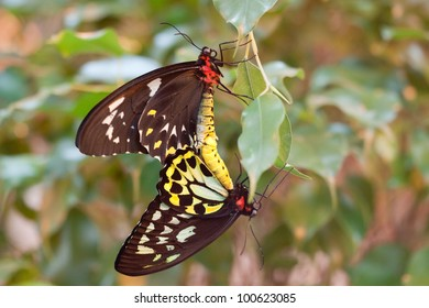 Ornithoptera priamus butterflies mating (male and female)