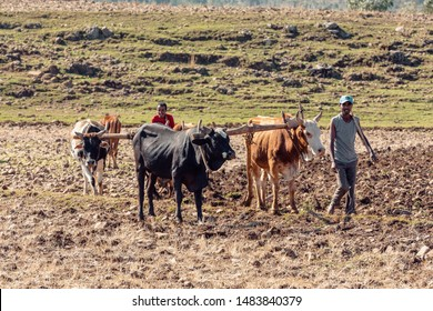 OROMIA REGION, ETHIOPIA, APRIL 19.2019, Unknown Ethiopian farmer cultivates a field with a traditional primitive wooden plow pulled by cows on April 19. 2019 in Oromia Region, Ethiopia