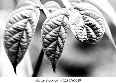 Oroxylum indicum tree