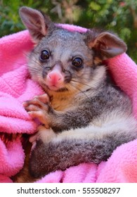 orphaned Brush-tail Possum