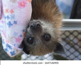 Orphaned Grey Headed Flying-fox (Pteropus poliocephalus) in care.