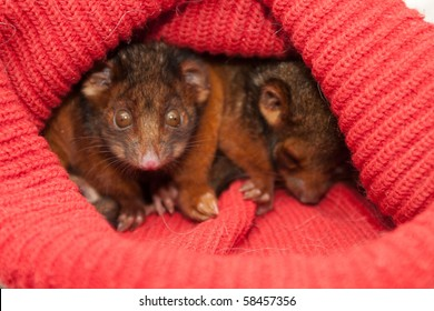 Orphaned ringtail possums keeping warm in woolen hat and cared for by wild life carer