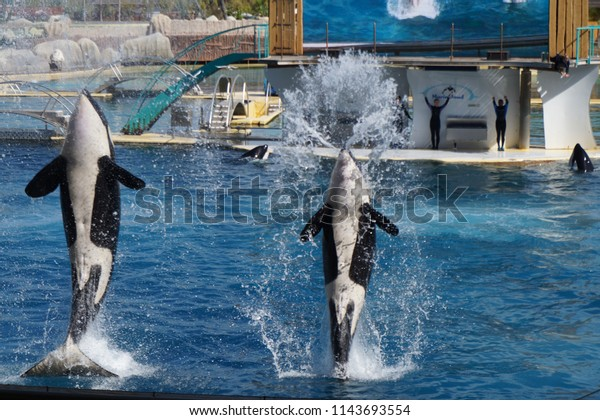 Orque en spectacle, marineland