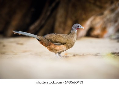 Ortalis ruficauda or Rufous-vented chachalaca The bird is walking along the beach