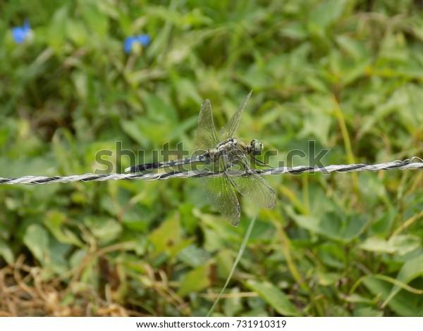 Orthetrum albistylum