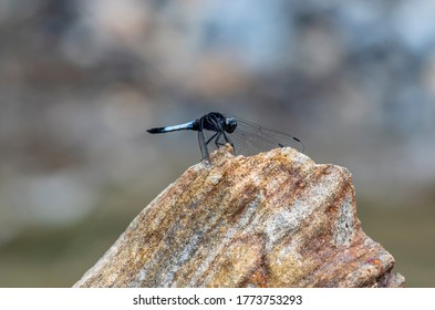 orthetrum triangulare dragonfly sitting on rock