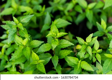 Orthosiphon aristatus green leaf in the garden, medicinal tree.
