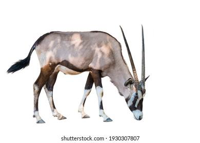 Orxy gazelle on white background.