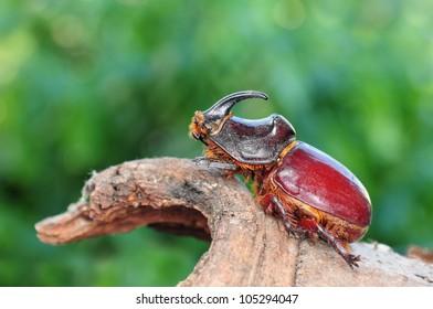 Oryctes nasicornis, beetle