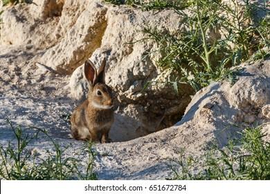 Oryctolagus cuniculus. Common rabbit, european. Burrows.