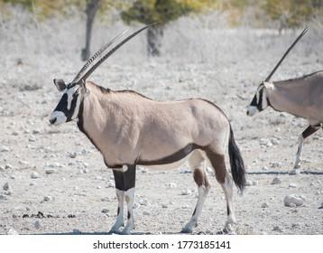 Oryx antelope in the Etosha National Park Namibia South Africa