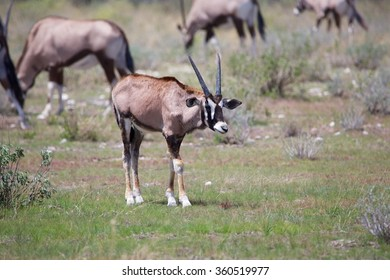 oryx calf at etosha